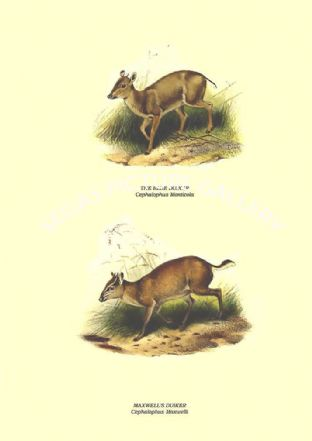 THE BLUE DUIKER - Cephalophus Monticola, MAXWELL'S DUIKER - Cephalophus Maxwelli
